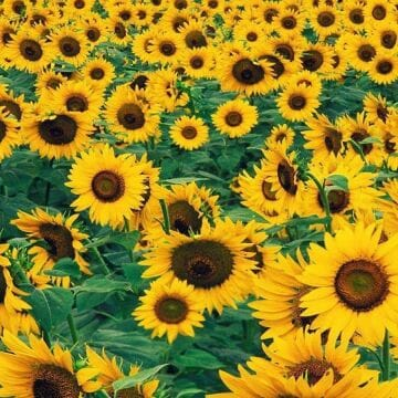 Yellow Aesthetic Sunflowers HD Wallpapers (Desktop Background / Android / iPhone) (1080p, 4k)